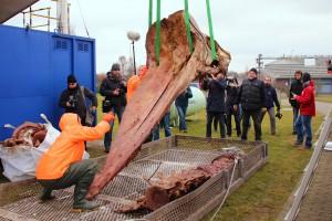 Der Schädel ist der größte und schwerste Knochen des Pottwals und muss bei einem Gewicht von bis zu einer Tonne per Kran verladen werden.
